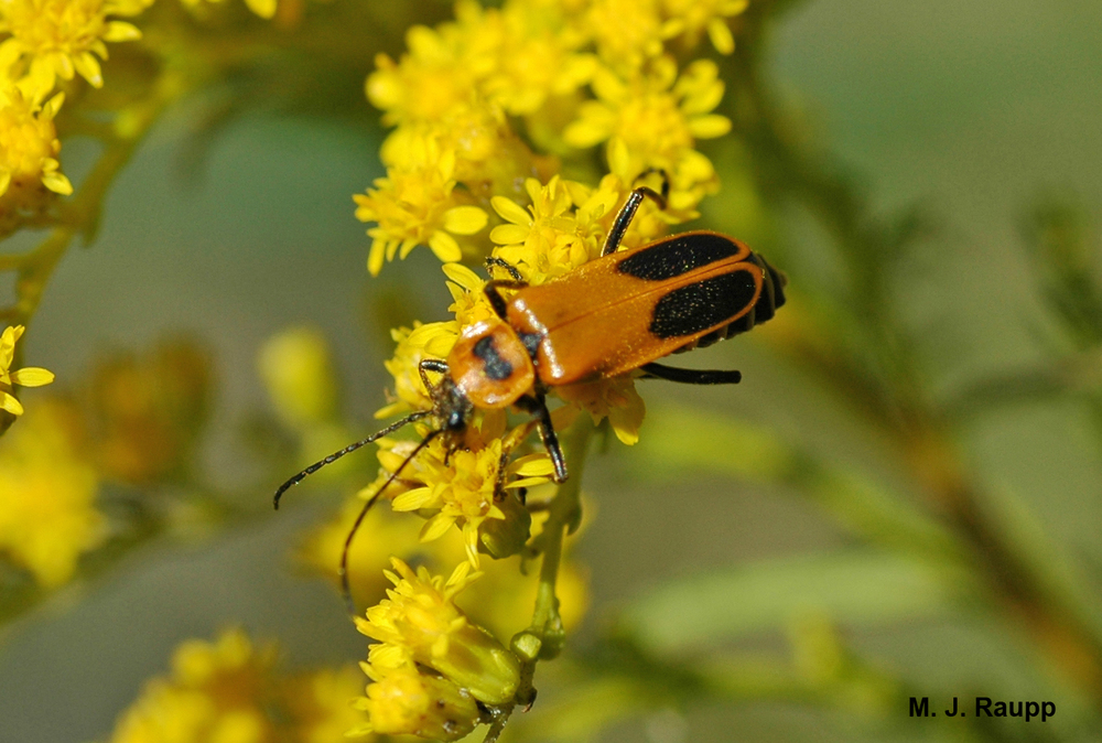 "800x600              800x600              800x600        The goldenrod leatherwing,  Chauliognathus pennsylvanicus,   is a frequent visitor to goldenrod in late summer and autumn.            Normal   0           false   false   false     EN-US   X-NONE   X-NONE                                  MicrosoftInternetExplorer4                                                                                                                                                                                                                                                                                                                                            /* Style Definitions */  table.MsoNormalTable 	{mso-style-name:""Table Normal""; 	mso-tstyle-rowband-size:0; 	mso-tstyle-colband-size:0; 	mso-style-noshow:yes; 	mso-style-priority:99; 	mso-style-parent:""""; 	mso-padding-alt:0in 5.4pt 0in 5.4pt; 	mso-para-margin:0in; 	mso-para-margin-bottom:.0001pt; 	mso-pagination:widow-orphan; 	font-size:10.0pt; 	font-family:""Times New Roman"",""serif"";}"