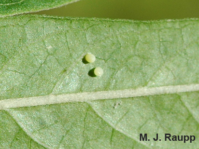 Female monarchs place eggs on the underside of leaves.