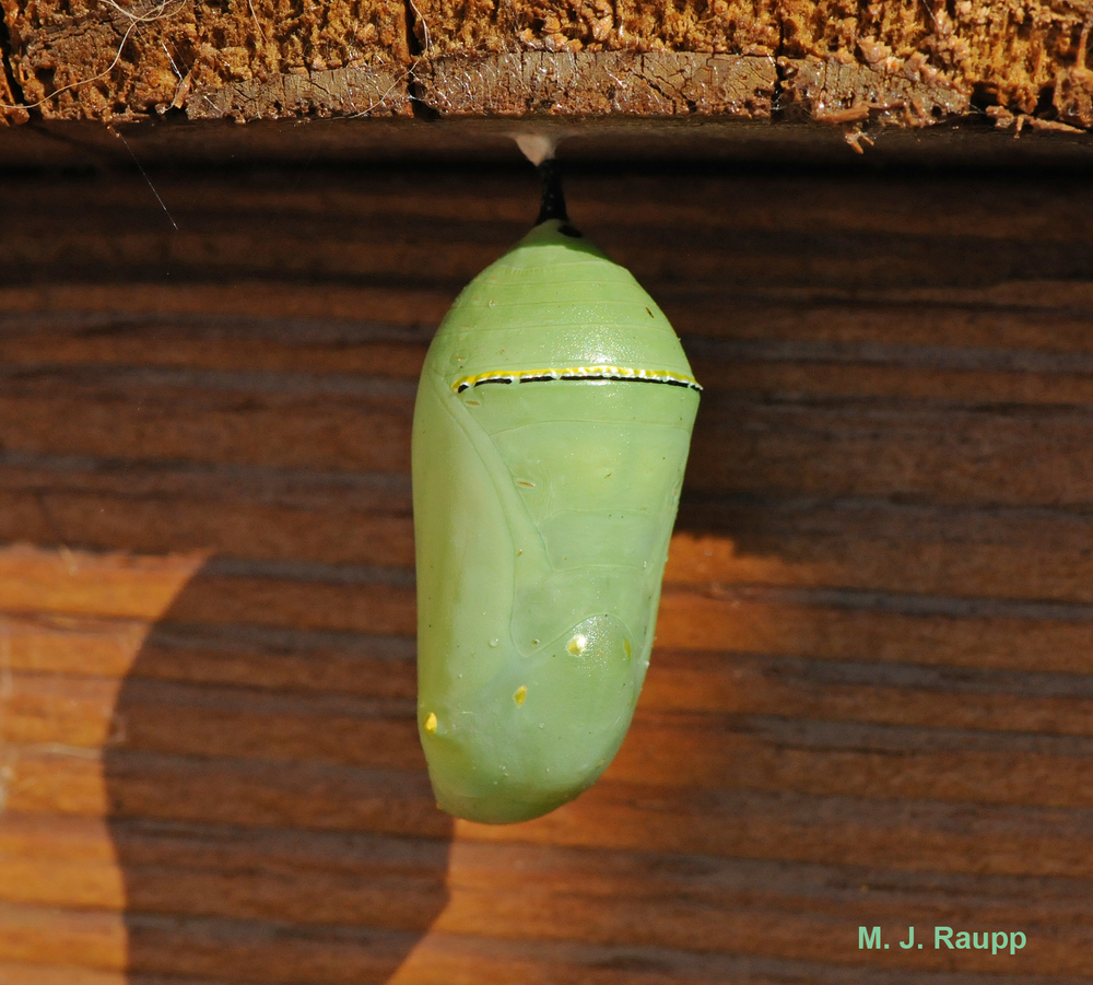 Often the monarch caterpillar moves away from the milkweed plant to transform into a beautiful chrysalis from which the adult butterfly later emerges.