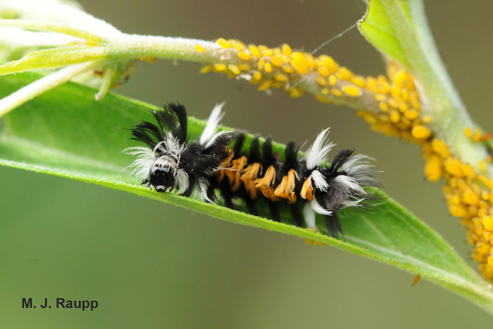 "Hairy caterpillars of the milkweed tussock moth resemble ""Cousin It"" as they feed on leaves of milkweed."