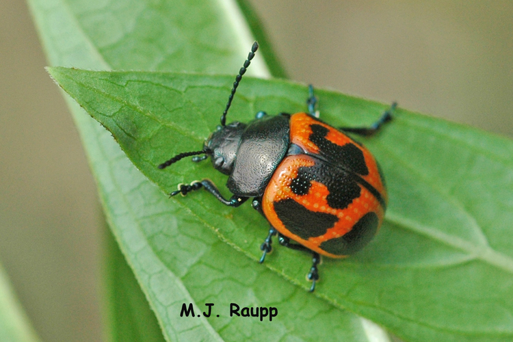 This adult milkweed leaf beetle is already in costume for Halloween. Bugs in Orange and Black I  Milkweed leaf beetle   i Labidomera