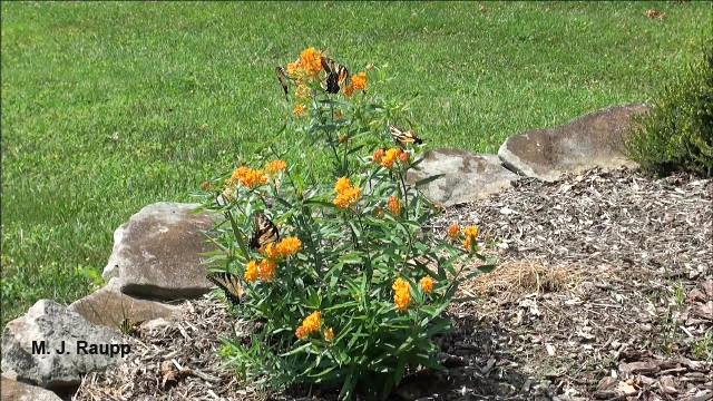 Butterfly weed attracts a host of insects in orange and black, in addition to myriad butterflies.