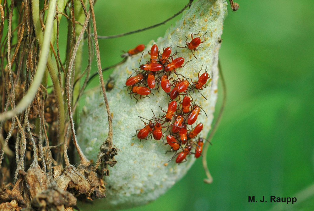 Tiny milkweed bug nymphs crowd a seed head in late summer.
