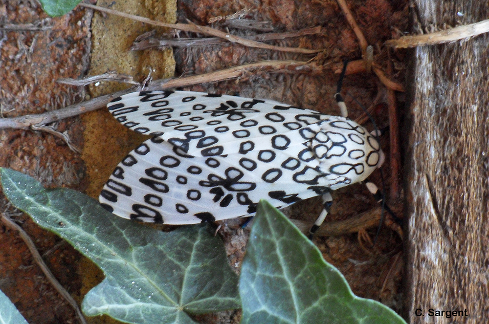 The adult leopard moth, mother of the black woolly bear, is a thing of beauty with black patterned white wings.