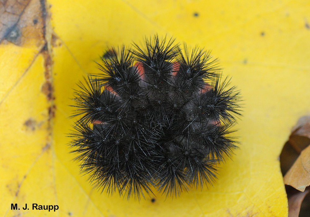 The giant leopard moth caterpillar curls into a ball when threatened.