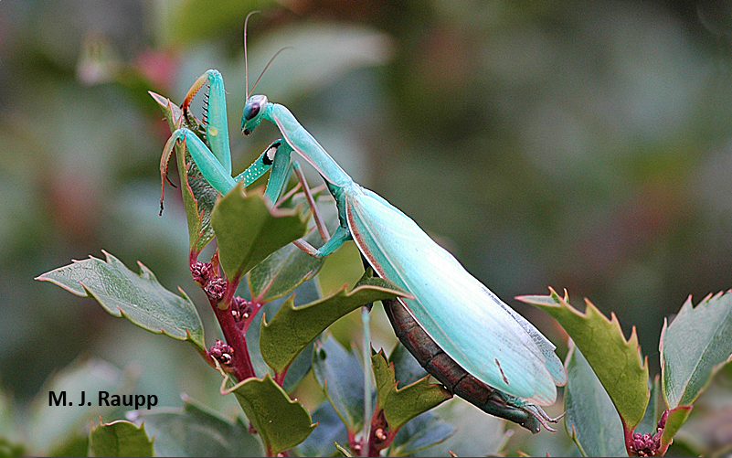 "A beautiful European praying mantis rests on a holly shortly before laying her eggs.        Normal   0           false   false   false     EN-US   X-NONE   X-NONE                                                                                                                                                                                                                                                                                                                                                                           /* Style Definitions */  table.MsoNormalTable 	{mso-style-name:""Table Normal""; 	mso-tstyle-rowband-size:0; 	mso-tstyle-colband-size:0; 	mso-style-noshow:yes; 	mso-style-priority:99; 	mso-style-parent:""""; 	mso-padding-alt:0in 5.4pt 0in 5.4pt; 	mso-para-margin-top:0in; 	mso-para-margin-right:0in; 	mso-para-margin-bottom:10.0pt; 	mso-para-margin-left:0in; 	line-height:115%; 	mso-pagination:widow-orphan; 	font-size:11.0pt; 	font-family:""Calibri"",""sans-serif""; 	mso-ascii-font-family:Calibri; 	mso-ascii-theme-font:minor-latin; 	mso-hansi-font-family:Calibri; 	mso-hansi-theme-font:minor-latin;}"