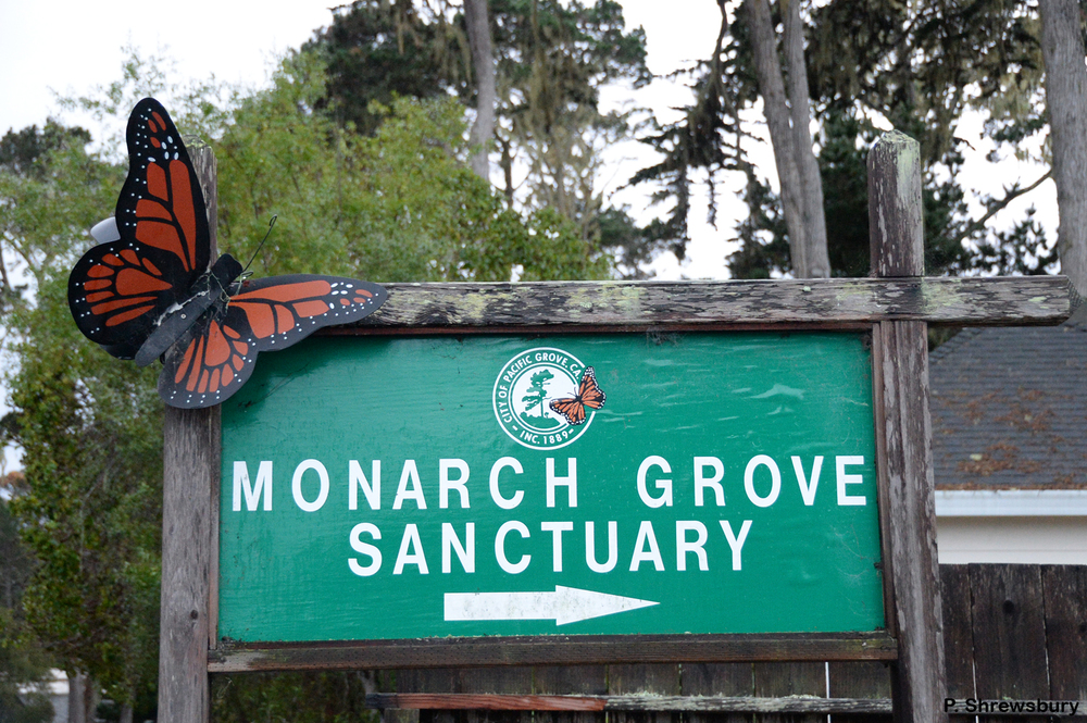 In a residential section of Pacific Grove, CA, small signs direct visitors to the Monarch Sanctuary.