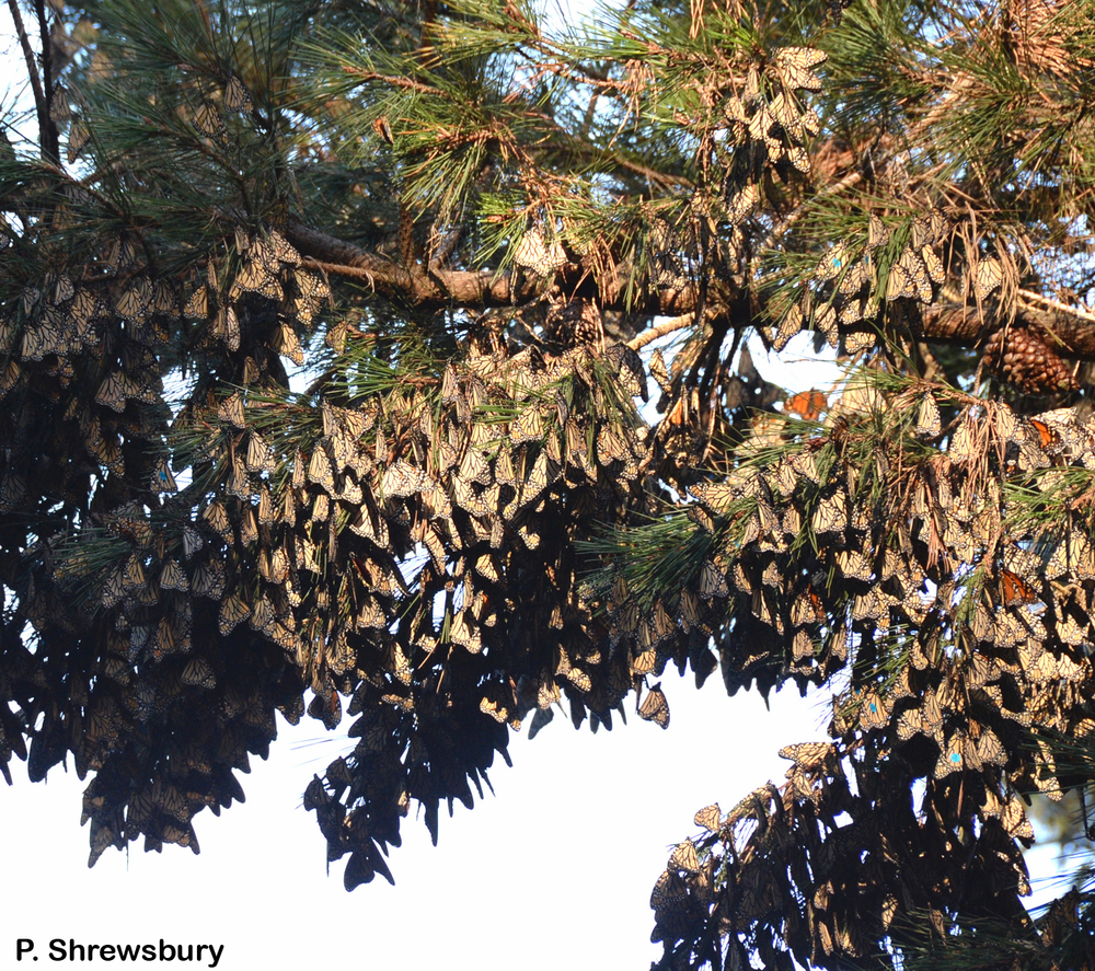 Hundreds of monarchs festoon branches of Monterey pines in the sanctuary.