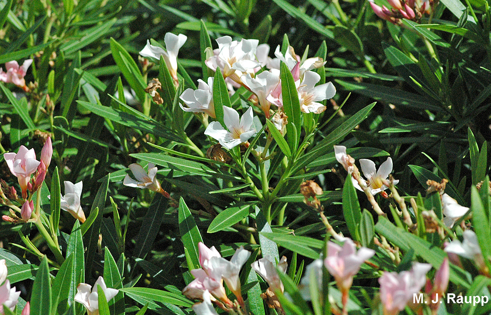 When colonists brought oleander to the New World, this plant of Mediterranean origin became an important larval food source for the polka-dot wasp moth.