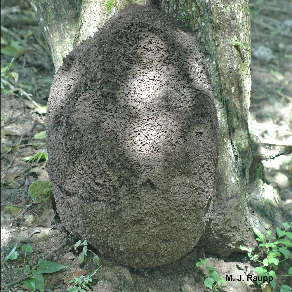 "800x600            800x600       Large termite nests like this one at the base of a tree contain thousands of termites.     Normal   0           false   false   false     EN-US   X-NONE   X-NONE                                  MicrosoftInternetExplorer4                                                                                                                                                                                                                                                                                                                                       /* Style Definitions */  table.MsoNormalTable 	{mso-style-name:""Table Normal""; 	mso-tstyle-rowband-size:0; 	mso-tstyle-colband-size:0; 	mso-style-noshow:yes; 	mso-style-priority:99; 	mso-style-parent:""""; 	mso-padding-alt:0in 5.4pt 0in 5.4pt; 	mso-para-margin:0in; 	mso-para-margin-bottom:.0001pt; 	mso-pagination:widow-orphan; 	font-size:10.0pt; 	font-family:""Times New Roman"",""serif"";}"