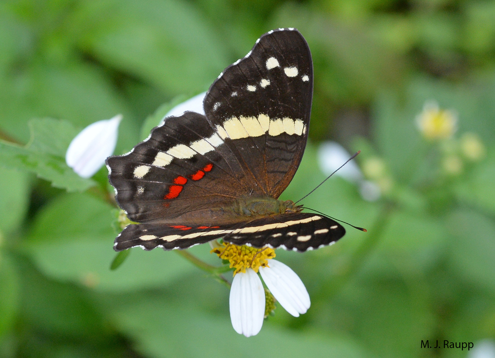 "Contrasting colors of dorsal wing bars make the banded peacock one of the most beautiful butterflies in the rainforest.     Normal   0           false   false   false     EN-US   X-NONE   X-NONE                                                                                                                                                                                                                                                                                                                                                                    /* Style Definitions */  table.MsoNormalTable 	{mso-style-name:""Table Normal""; 	mso-tstyle-rowband-size:0; 	mso-tstyle-colband-size:0; 	mso-style-noshow:yes; 	mso-style-priority:99; 	mso-style-parent:""""; 	mso-padding-alt:0in 5.4pt 0in 5.4pt; 	mso-para-margin-top:0in; 	mso-para-margin-right:0in; 	mso-para-margin-bottom:10.0pt; 	mso-para-margin-left:0in; 	line-height:115%; 	mso-pagination:widow-orphan; 	font-size:11.0pt; 	font-family:""Calibri"",""sans-serif""; 	mso-ascii-font-family:Calibri; 	mso-ascii-theme-font:minor-latin; 	mso-hansi-font-family:Calibri; 	mso-hansi-theme-font:minor-latin;}"