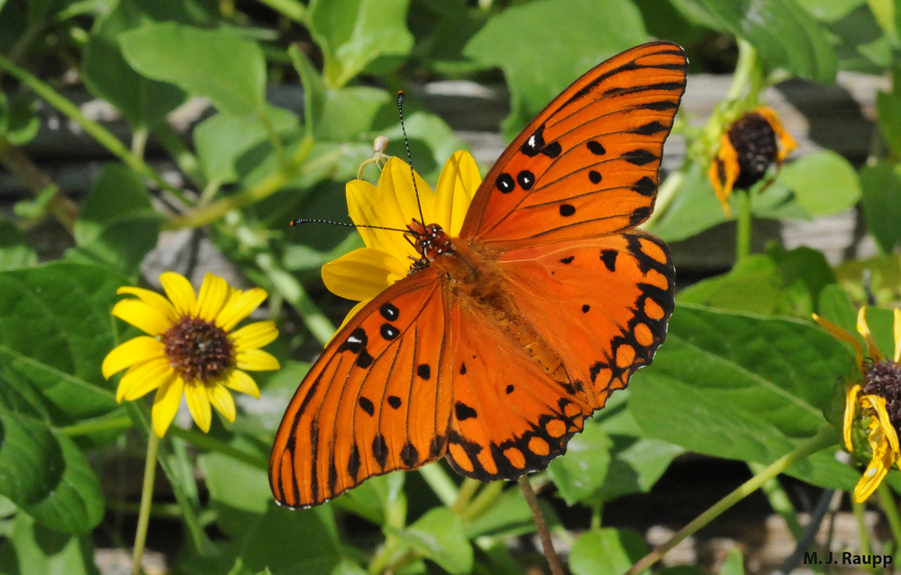 800x600        The gorgeous Gulf fritillary butterfly harbors a couple of unpleasant surprises for any would-be predator.