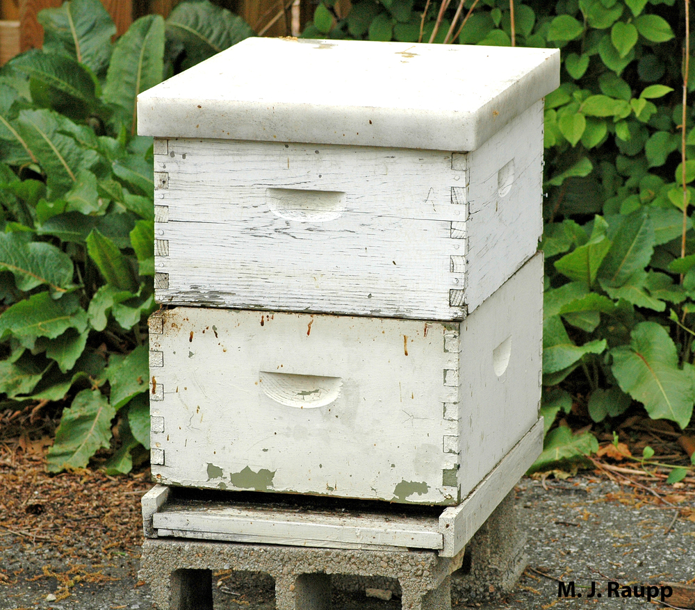 With the introduction of parasitic mites, many hobbyist beekeepers lost their colonies.