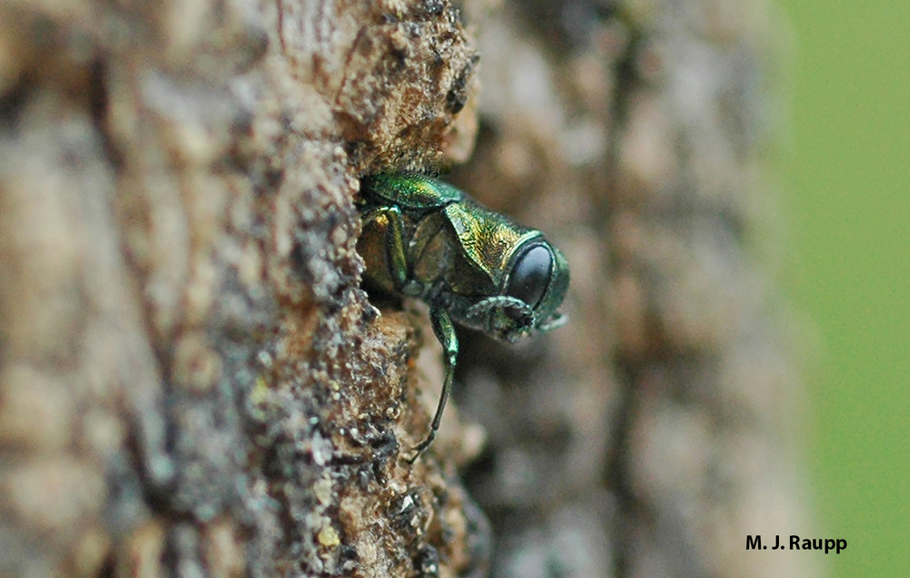 how to stop emerald ash borer