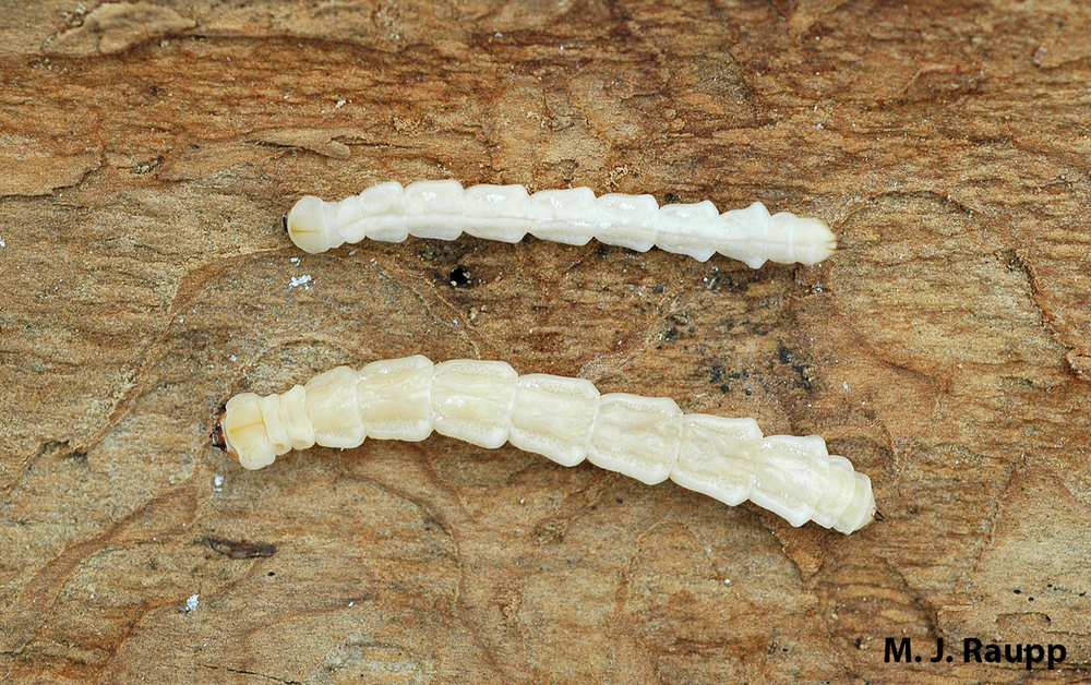 Legless Emerald Ash Borer larvae like these two are easily moved in firewood, logs, or branches.