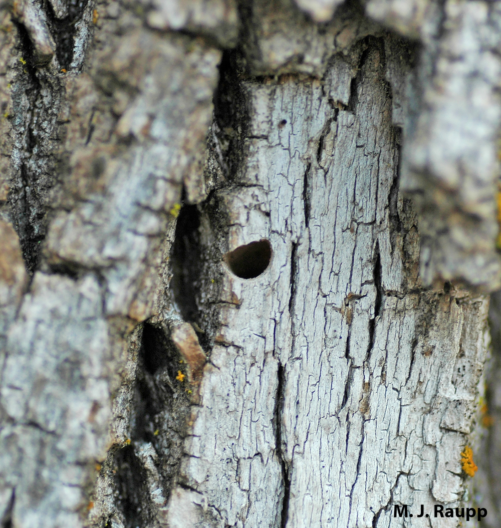 "The Emerald Ash Borer adult leaves behind a ""D"" shaped exit hole in the bark of the tree. This is a good clue for diagnosing the presence of this pest."
