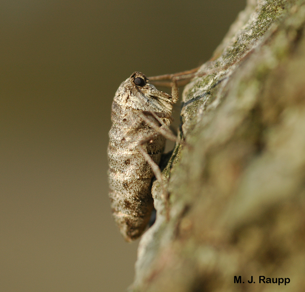 The female fall cankerworm is a strange creature with non-functional mouthparts and no wings. She walks rather than flies to the tree tops to lay eggs.