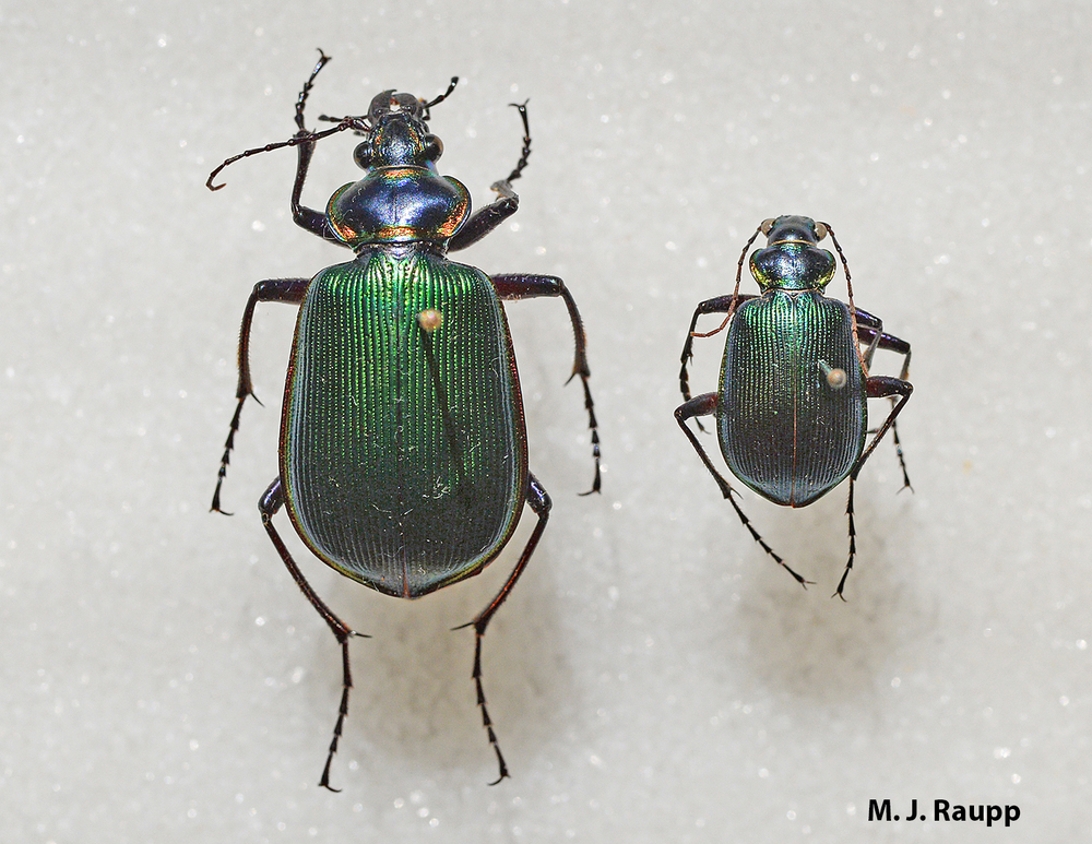 Calosoma wilcoxi (right) is about one third the size of its cousin, the fiery searcher Calosoma scrutator (left).