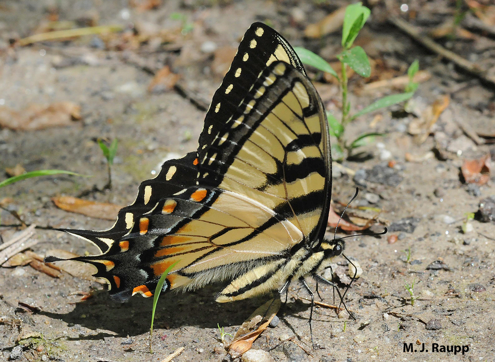 When not foraging on nectar, the eastern tiger swallowtail often seeks minerals by puddling in soil.