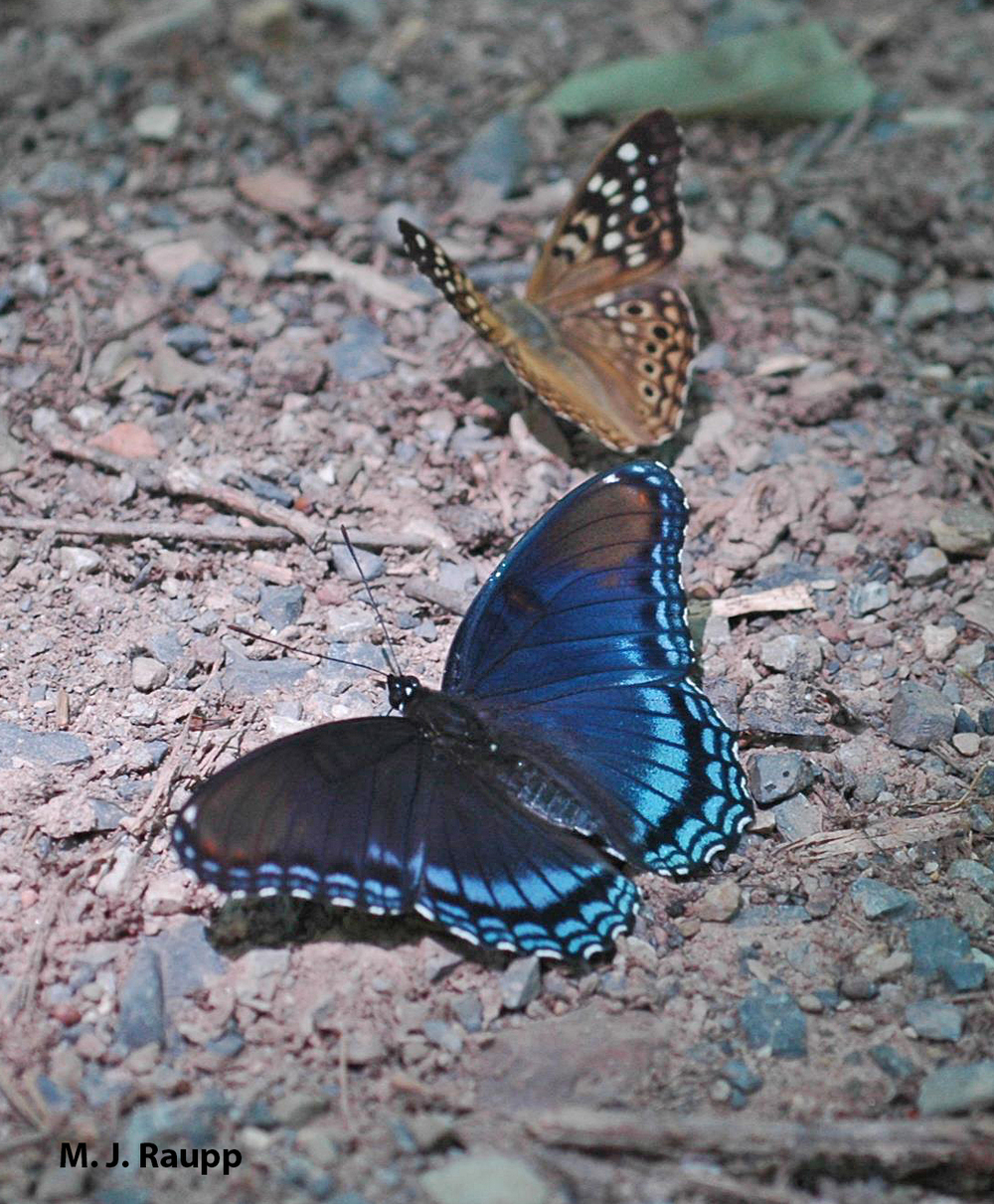 Moist forest soil attracts mixed species of puddlers like these red spotted purple and hackberry butterflies.