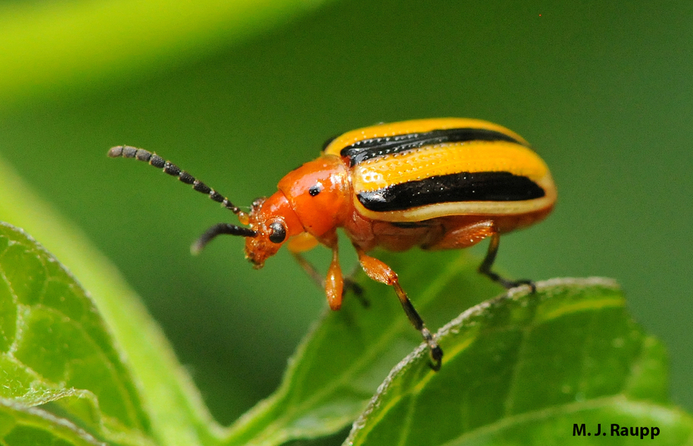 A dinner of nightshade is deadly to some, but not to the three-lined potato beetle.