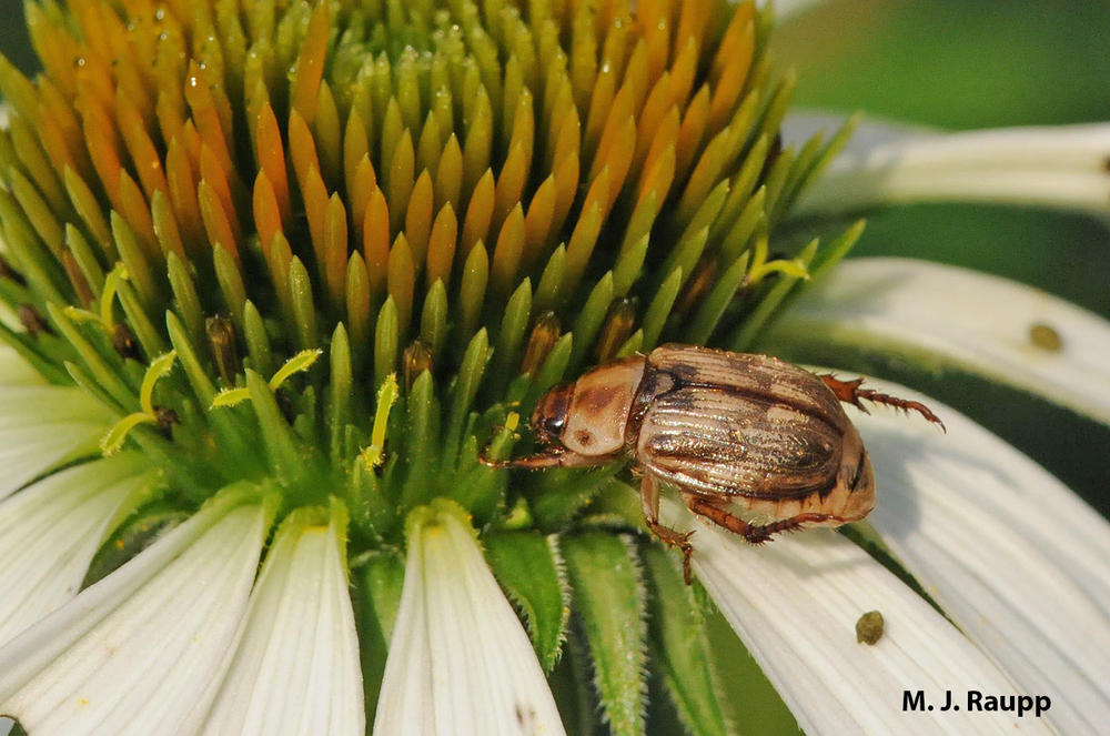 The scoundrel despoiling petals of my coneflowers is the Oriental beetle.