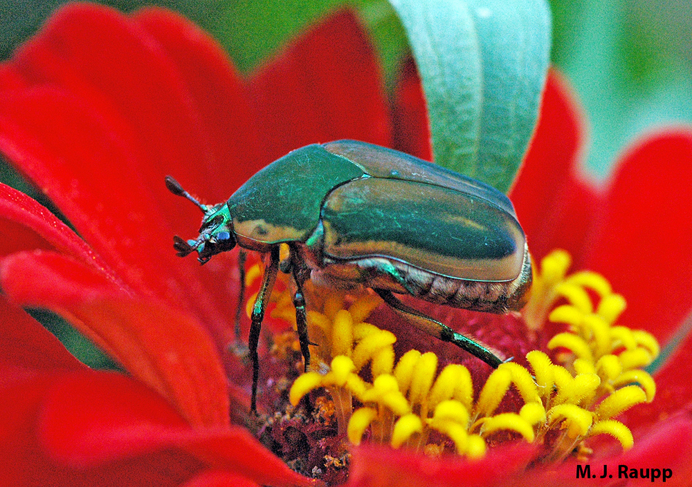 Oh my, doesn't a Green June beetle look lovely on a flower.