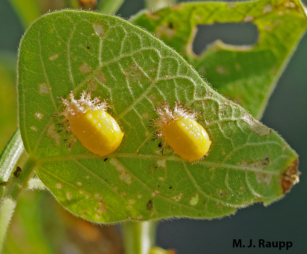 Beneath the leaf's surface larvae transform into adults inside the pupal case.