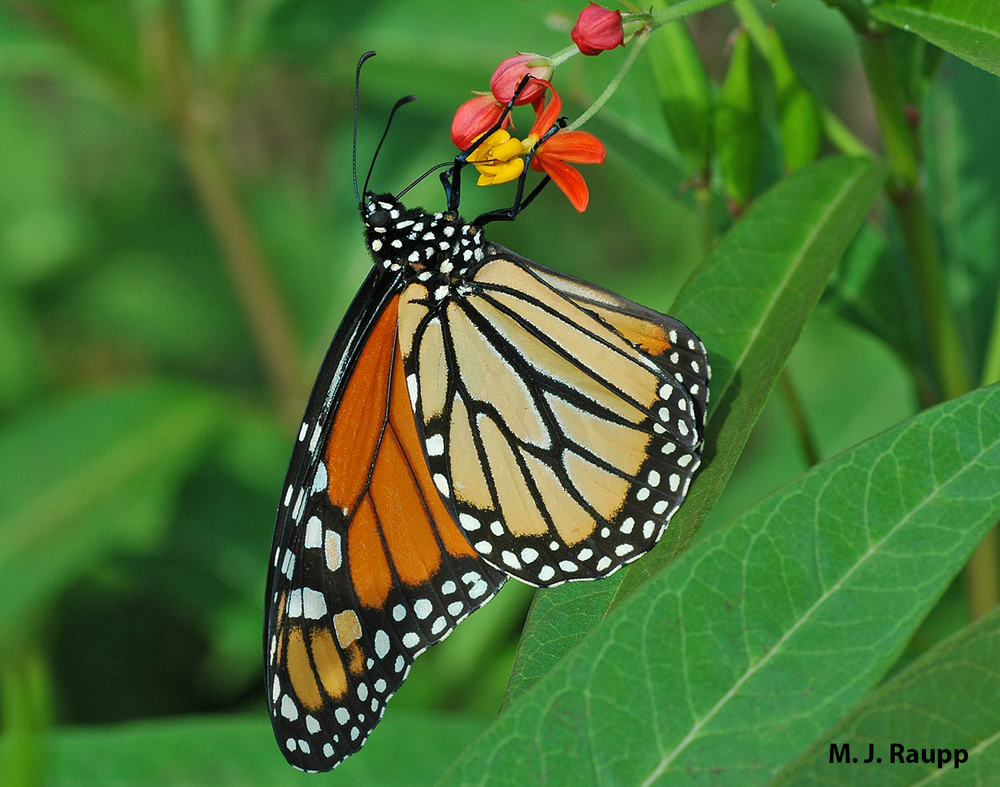 Monarch butterflies are frequent visitors to Maryland, and will be celebrated this week at the Howard Conservancy in Woodstock, Maryland.