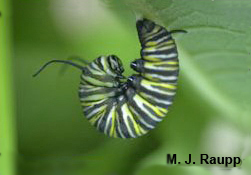 "The fully-grown caterpillar assumes the ""J"" position just before pupation.     Normal   0           false   false   false     EN-US   X-NONE   X-NONE                                                                                                                                                                                                                                                                                                                                                                    /* Style Definitions */  table.MsoNormalTable 	{mso-style-name:""Table Normal""; 	mso-tstyle-rowband-size:0; 	mso-tstyle-colband-size:0; 	mso-style-noshow:yes; 	mso-style-priority:99; 	mso-style-parent:""""; 	mso-padding-alt:0in 5.4pt 0in 5.4pt; 	mso-para-margin-top:0in; 	mso-para-margin-right:0in; 	mso-para-margin-bottom:10.0pt; 	mso-para-margin-left:0in; 	line-height:115%; 	mso-pagination:widow-orphan; 	font-size:11.0pt; 	font-family:""Calibri"",""sans-serif""; 	mso-ascii-font-family:Calibri; 	mso-ascii-theme-font:minor-latin; 	mso-hansi-font-family:Calibri; 	mso-hansi-theme-font:minor-latin;}"