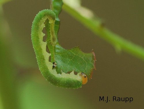 Sawflies can munch a rose leaf into oblivion in nothing flat. Note all the prolegs on the abdomen of this larva.