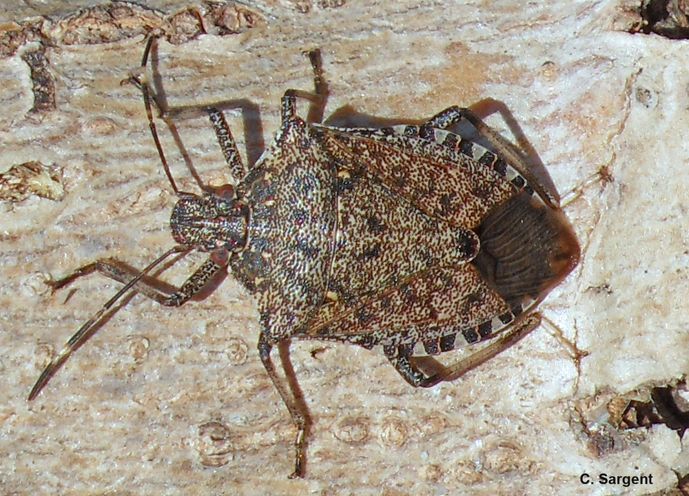 Bark feeding is a strange behavior stink bugs employ in autumn.