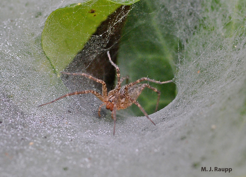 Ready to pounce on an unlucky passerby, the dappled Pennsylvania Grass Spider waits in the mouth of her funnel.