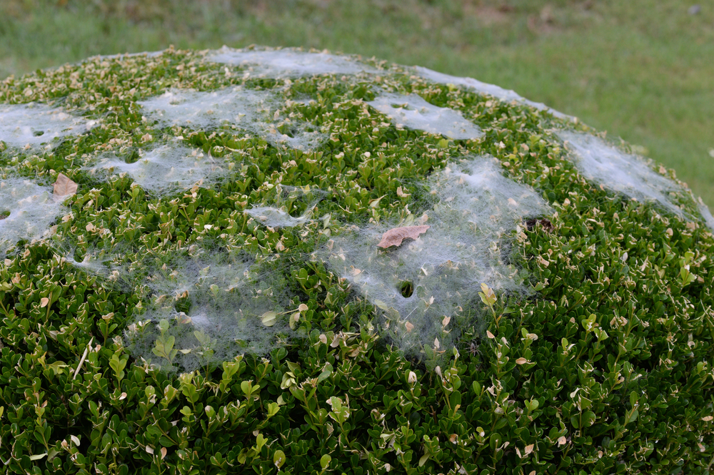 A foggy morning mist reveals the handiwork of funnel weaving spiders.