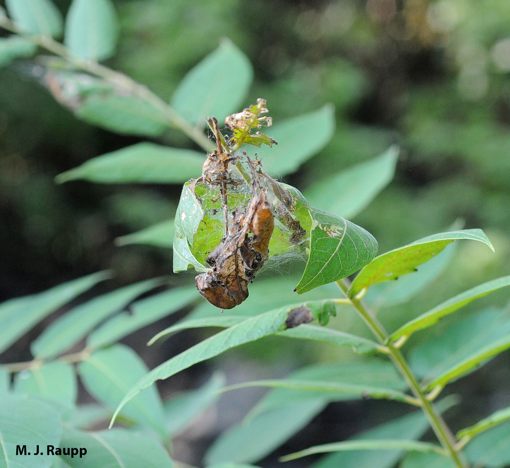 Ugly nests at the tips of Tree of Heaven branches are the hallmark of ailanthus webworm.