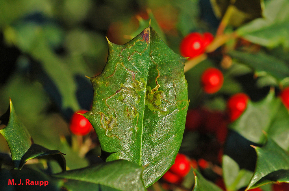 Snakelike galleries are a sure sign of native holly leafminers.