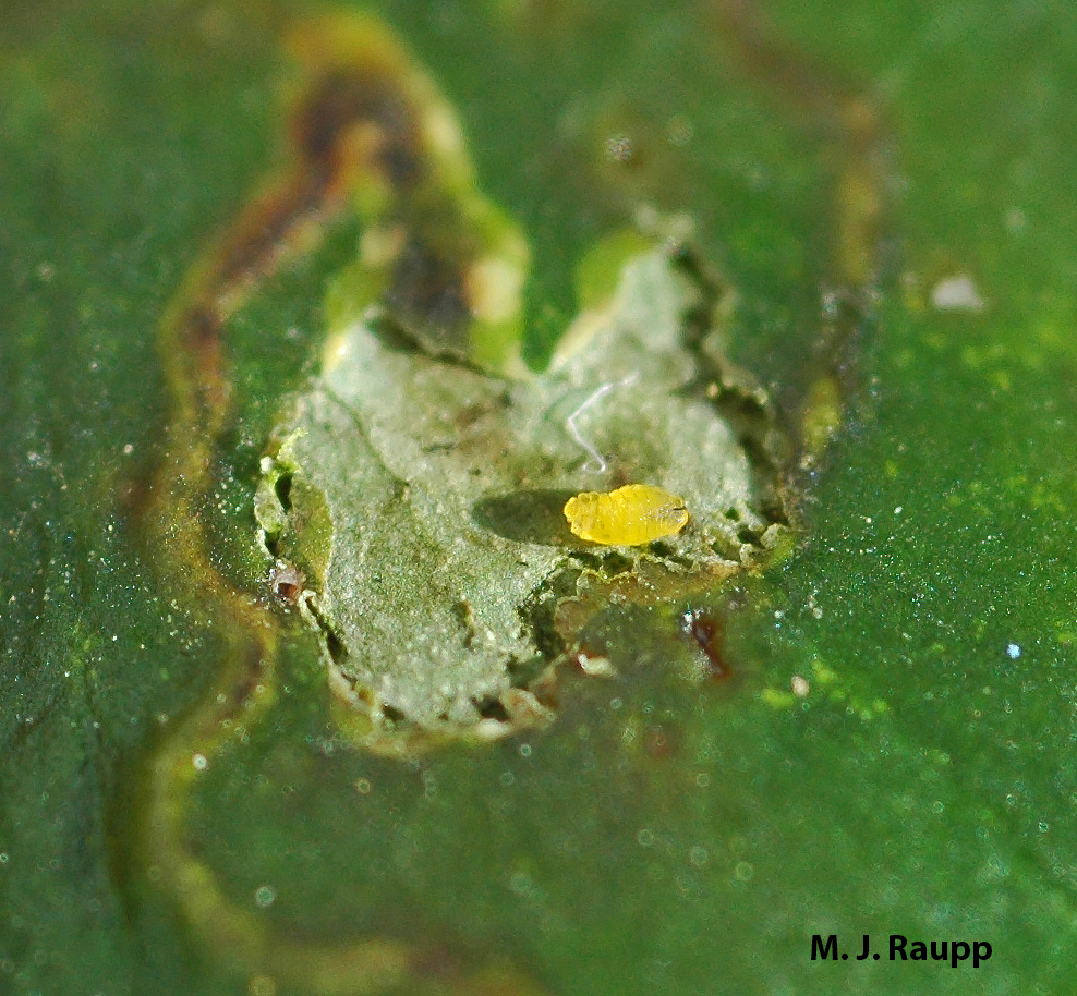 The leafminer's dark mouthparts (right end) puncture cells, releasing nutrients for the hungry maggot.