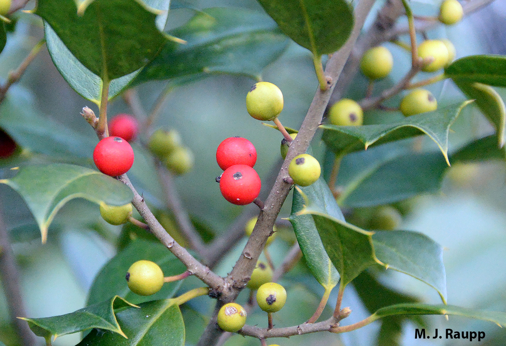 What's the deal with all the green berries on a holly tree?