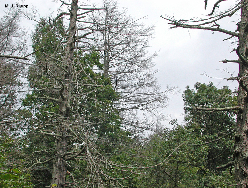 The hemlock woolly adelgid has killed thousands of eastern hemlocks, such as these in Shenandoah National Park.