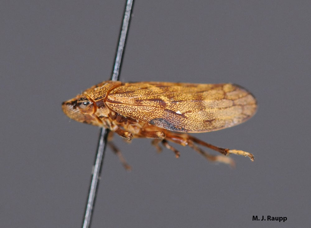 Many temperate spittle bugs like the pine spittle bug are rather drab.