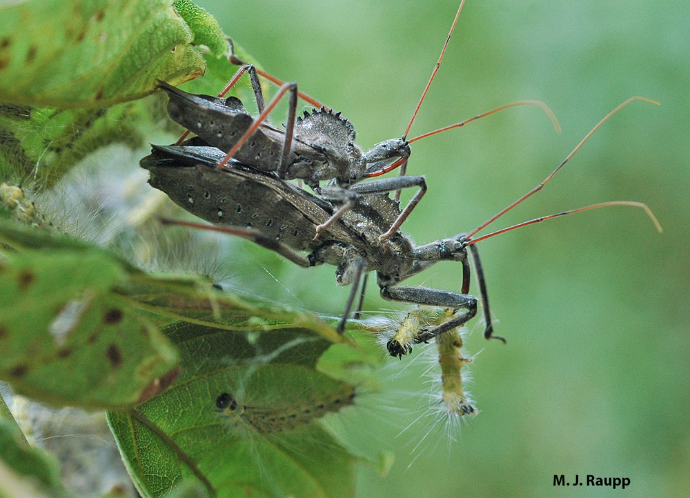 A dinner date with webworms on the menu hits the spot for two amorous wheel bugs.