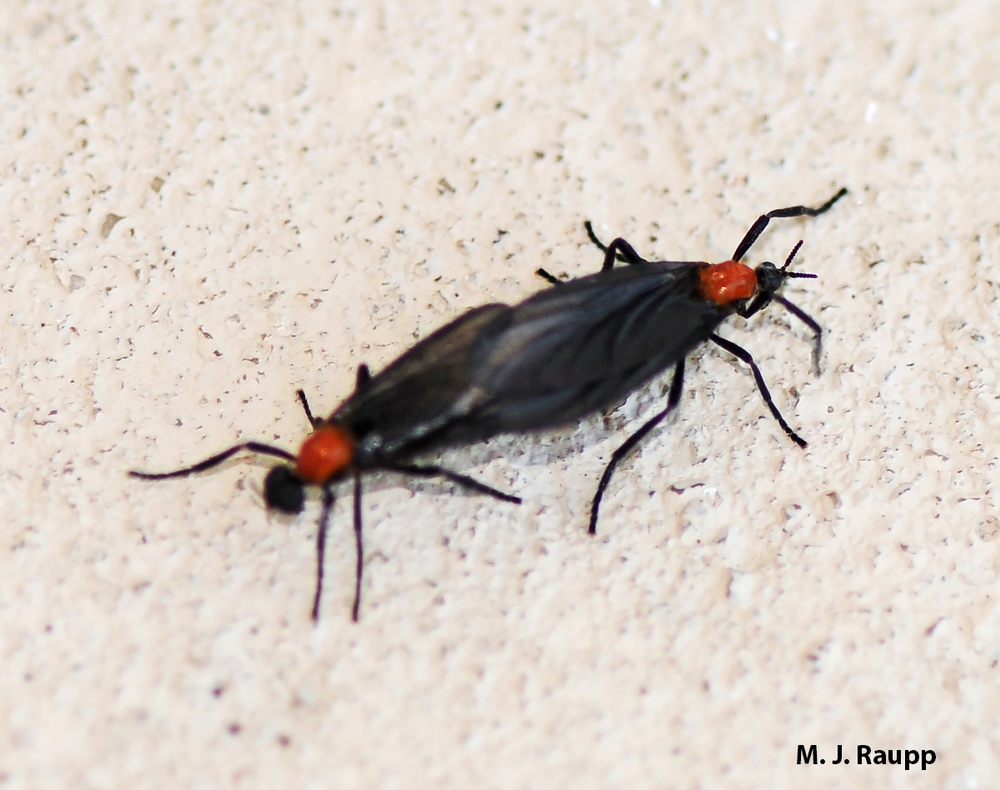 Love bugs conjoin for hours during the mating season. FYI male on the left, female on the right.