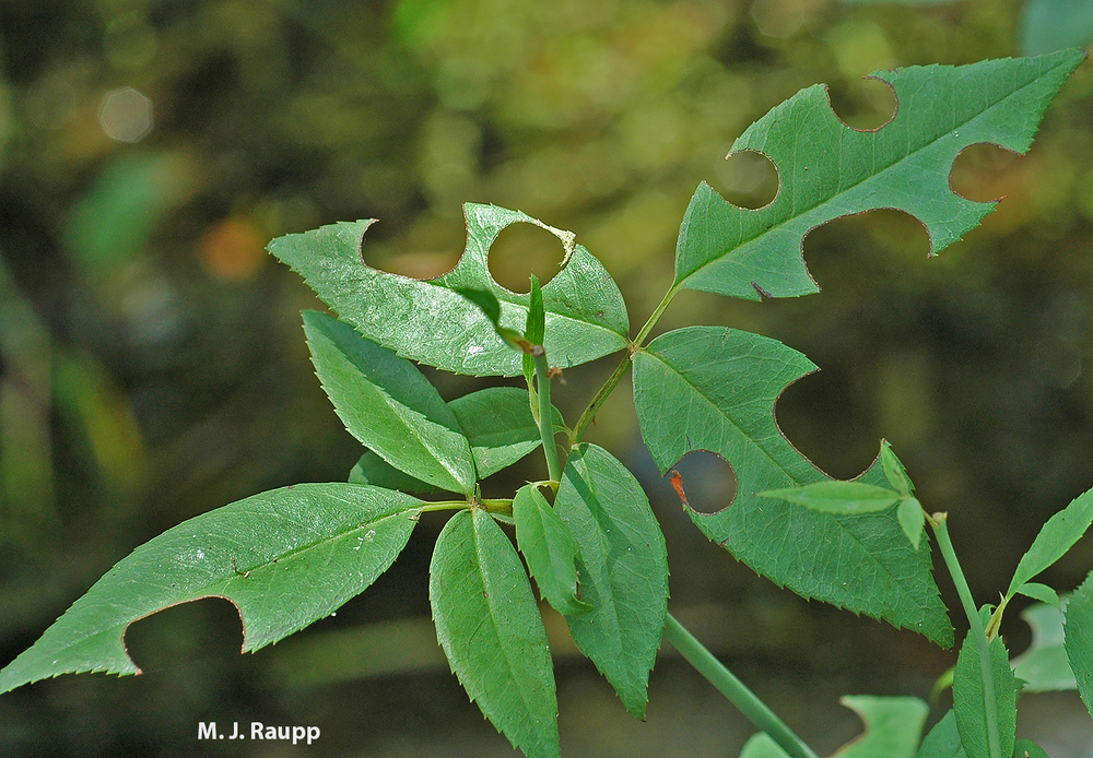 Keep An Eye Out For Circular Cuts On Leaf Margins Of Trees And Shrubs In Your