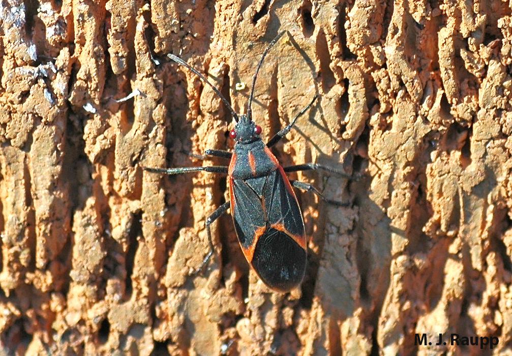 Boxelder Bugs On The Move I Boisea Trivittatus I Bug Of The Week