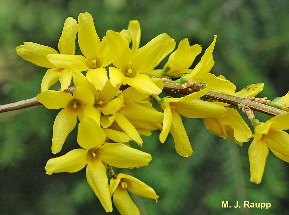Forsythia blossoms herald the return of eastern tent caterpillars.