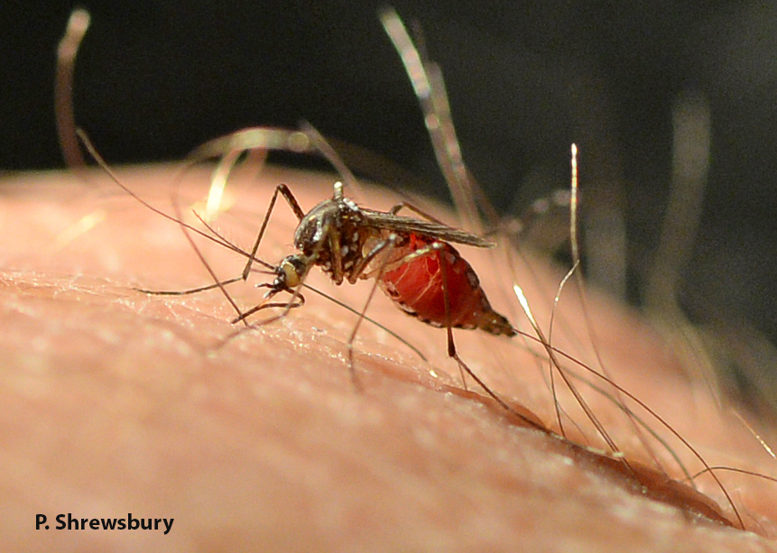 Female mosquitoes like this yellow fever mosquito biting my hand use human blood to produce eggs. While feeding, viruses like Zika are transmitted from the mosquito to the human in saliva injected into the wound by the mosquito. Blood loss credit: M. J. Raupp.