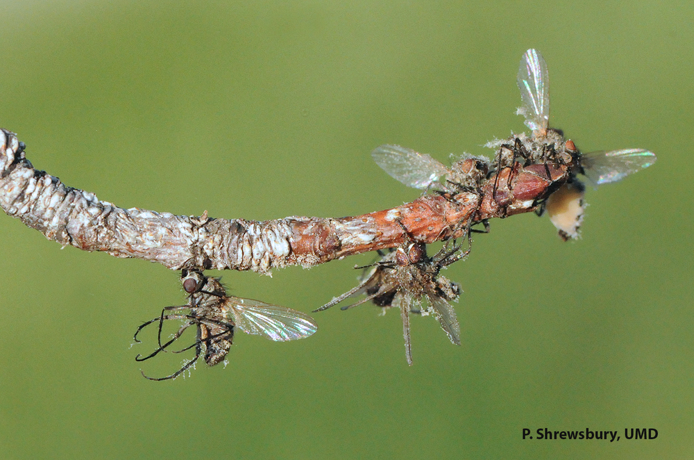 With their tiny minds controlled by the zombie-izing fungus, flies move to the tips of branches - all the better for the fungus to spread its spores.