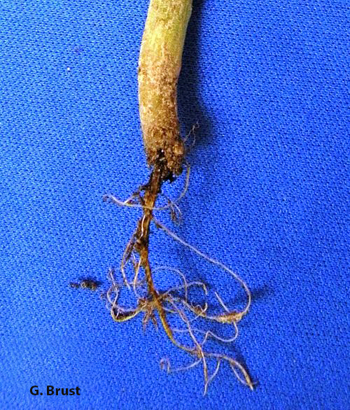 This little seedling didn't stand a chance after seedcorn maggots went to work on its roots.