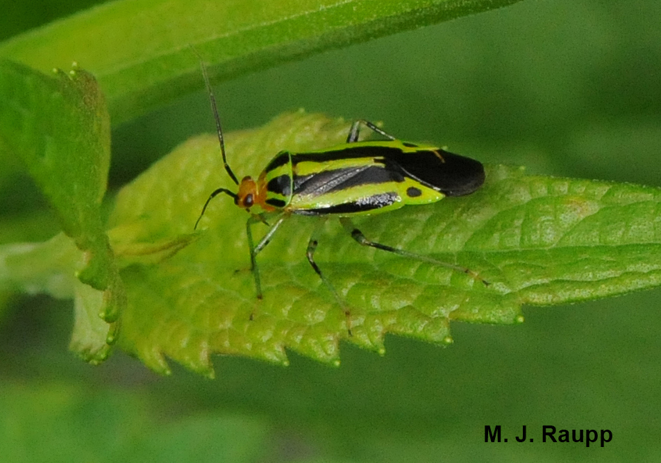 The fourlined plant bug adult has an artful arrangement of alternating black and greenish or yellowish stripes down its back.