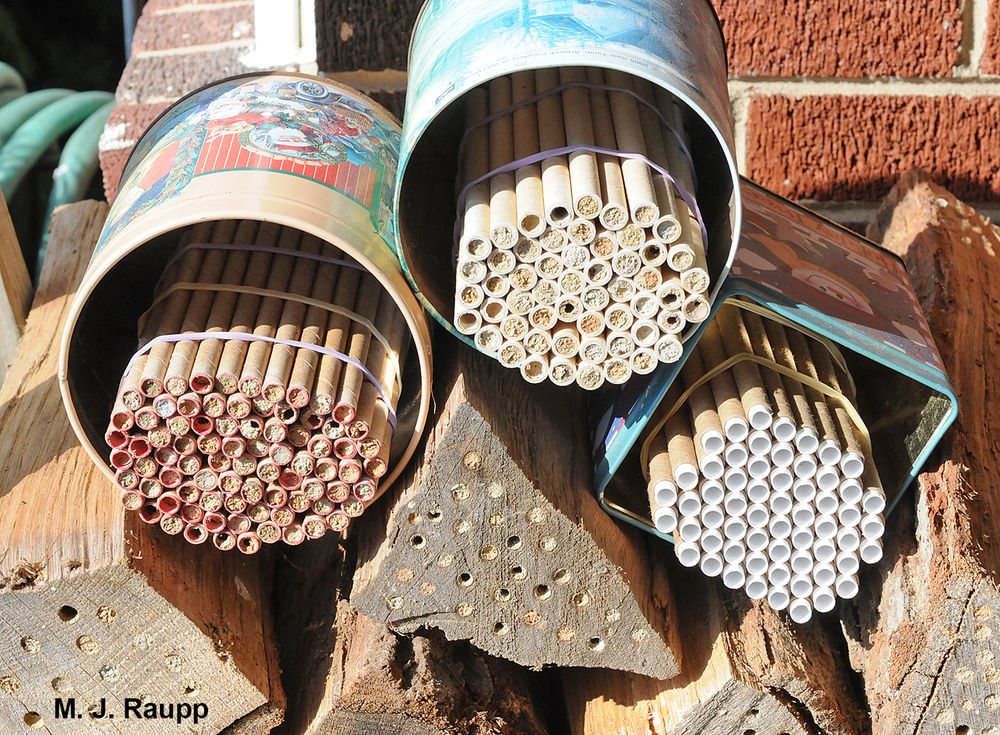 My mason bee colony of cardboard tubes and holes drilled in logs will soon be attacked by parasitic wasps. Some will perish. Most will survive.